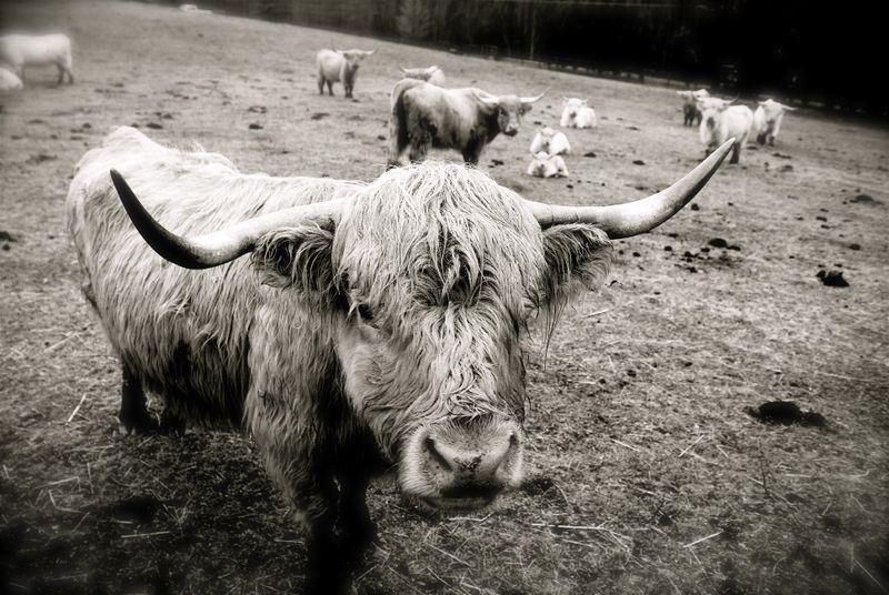Cows_scottish