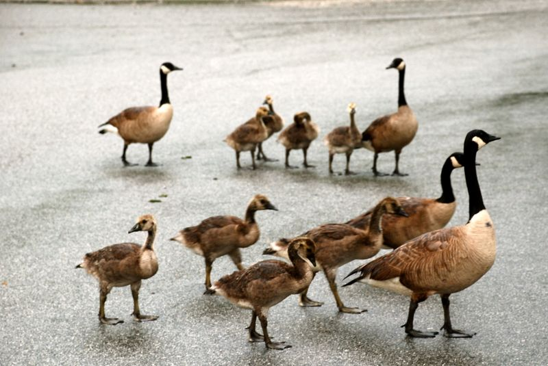 Canadian_Geese