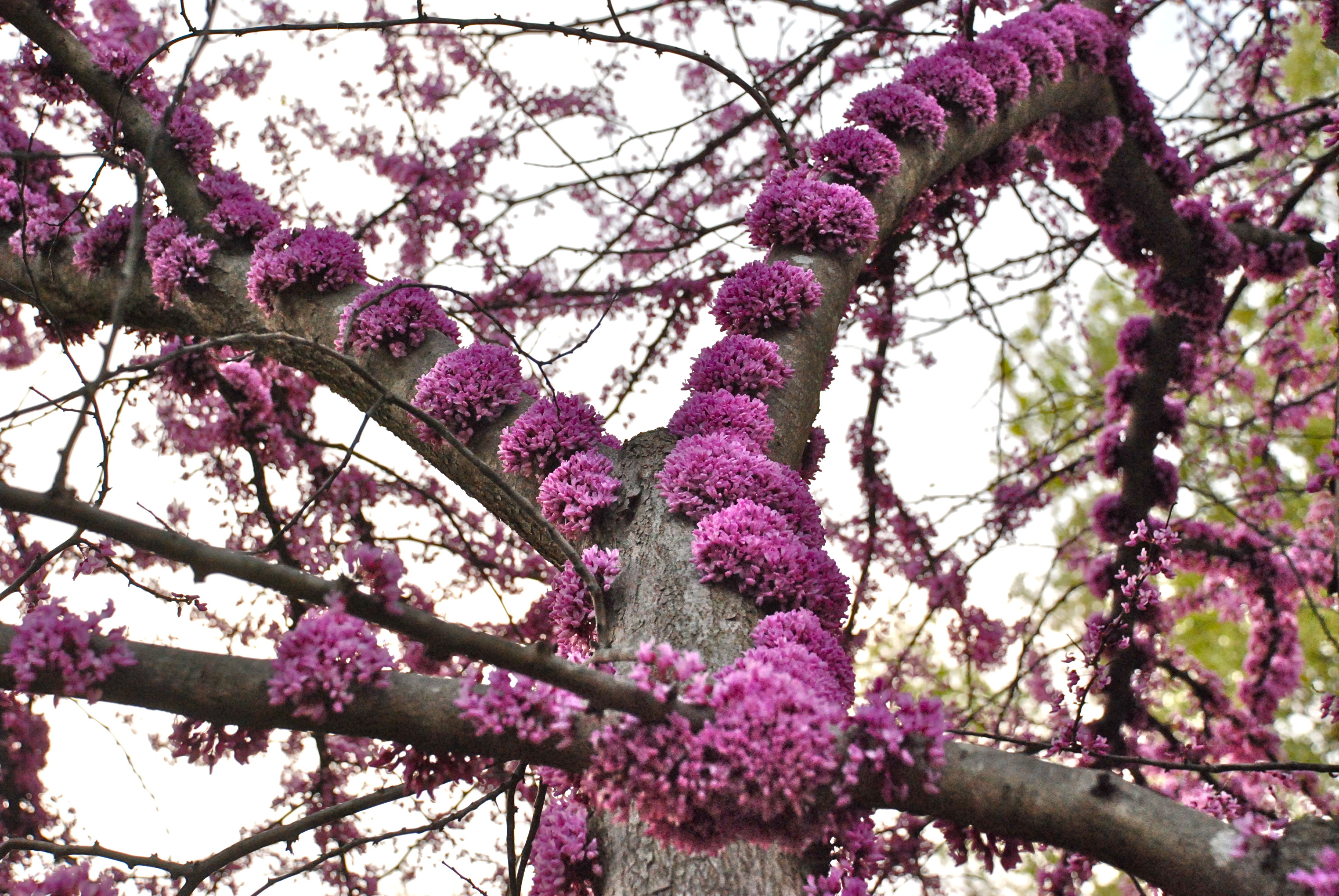 Redbud trees greensboro daily photo one of the first trees to wake up in the spring in north carolina is cercis canadensis the eastern redbud is a small tree native to north america dhlflorist Gallery