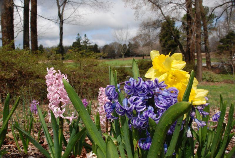 Hyacanth & Daffodils