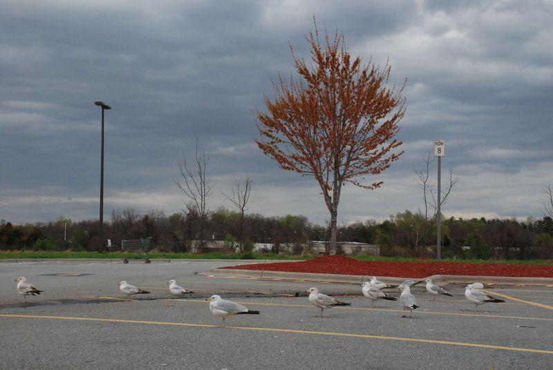 Gulls in Greensboro