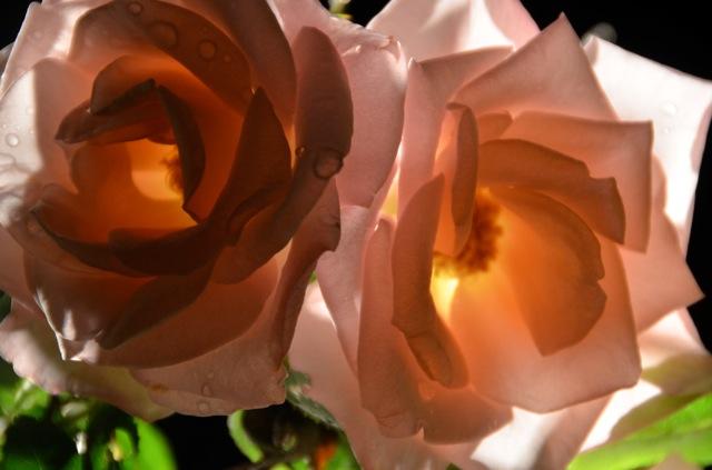 Night Roses 2