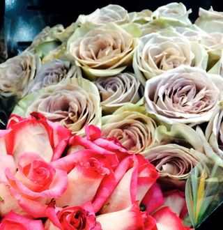 Taupe Roses