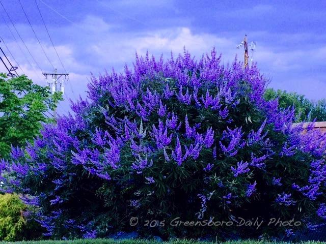 Lavender Blue - 1-1