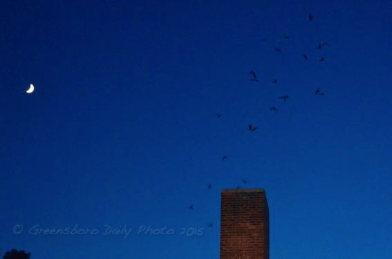 Chimney Swifts - 1-1