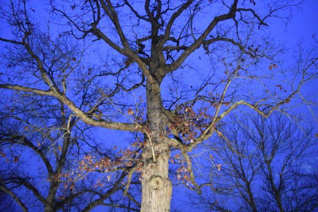 Oak tree - 1