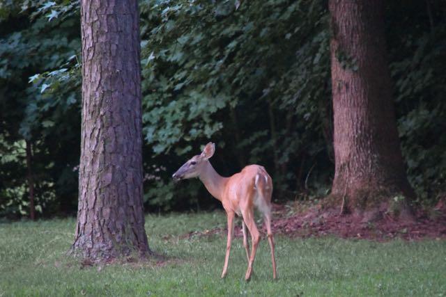 Deer - 1