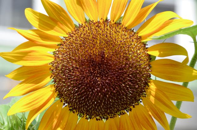 Sunflower - 1