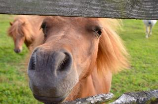 Miniature horses - 1