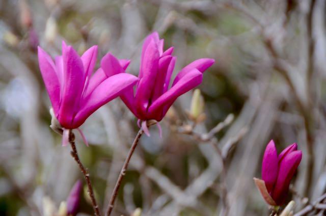 Tulip magnolia - 1