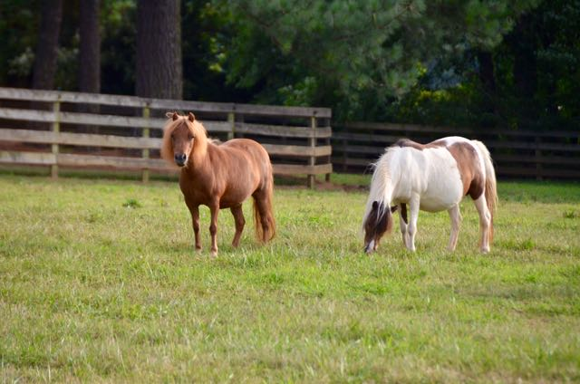 Miniature horses main - 1