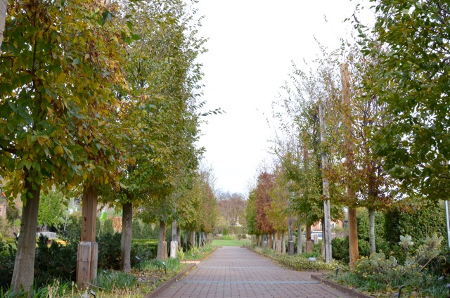 Pleached Hornbeam Walk - 1